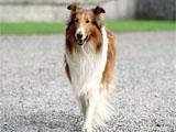 Lassie, in 2005 film Lassie