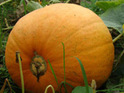 A gardener reportedly hopes to fit a motor to a giant pumpkin and sail it to the Isle of Man.