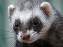 Ferret named Fred attacks residents at a property in Nottinghamshire.