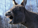 The stolen donkey alerted police to the robbery.