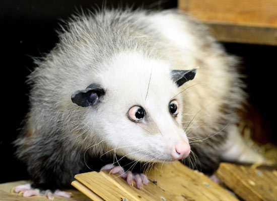 Heidi the opossum