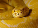 Burmese python