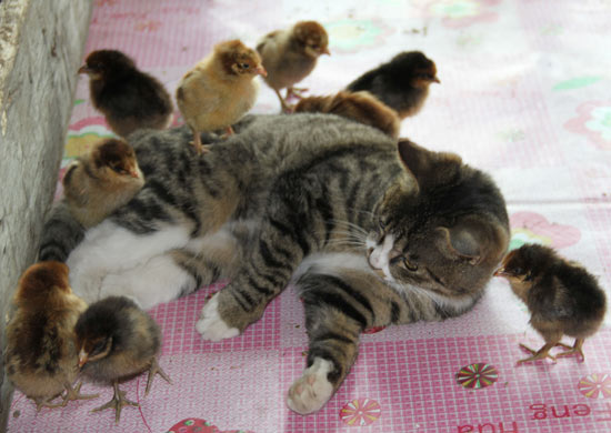 Cat playing with chicks