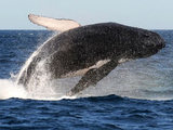 A whale