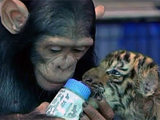 DoDo the chimp babysits tiger cub.