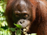 Orangutan at the zoo