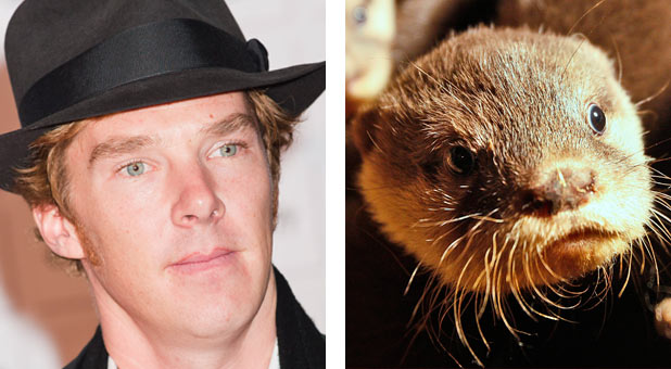Benedict Cumberbatch compared to an otter