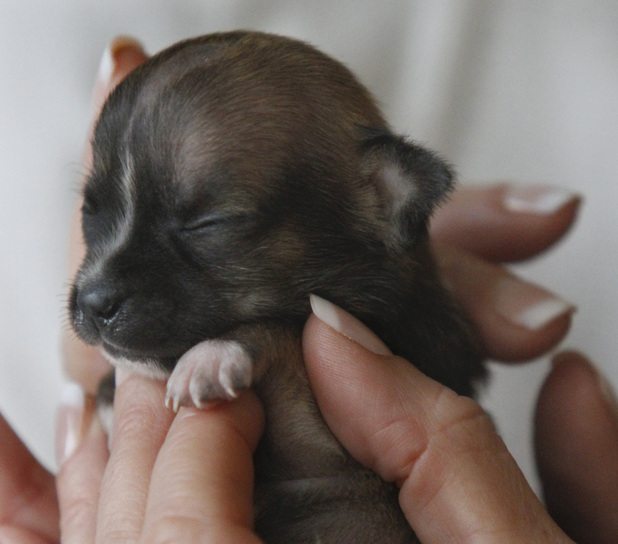 Beyonce, a Dachshund puppy vying for the title of World's Smallest Dog