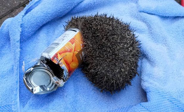 The hedgehog with its head trapped in the empty tin of carrots