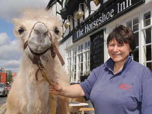Kaza, a 10 month old camel outside the Horse Shoe Inn with owner Rebecca Fossett in Shipston-on-Stour