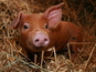 Police chase stampeding piglets - video