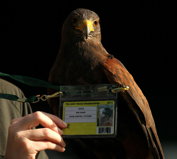 Rufus the Wimbledon hawk with his 'security pass'