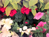 Summer Bedding Petunias And Pelargoniums