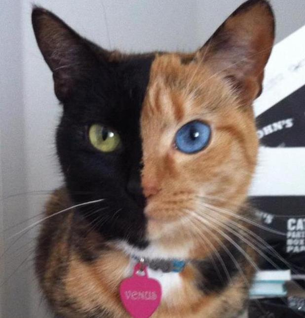 'Two-faced' chimera cat