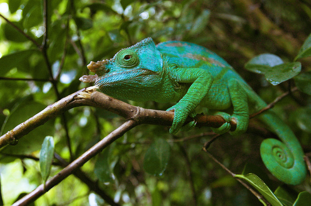 A chameleon sits on a branch of a tree in Madagascar&#39;s Mantadia National Park, Sunday June 18, 2006.
