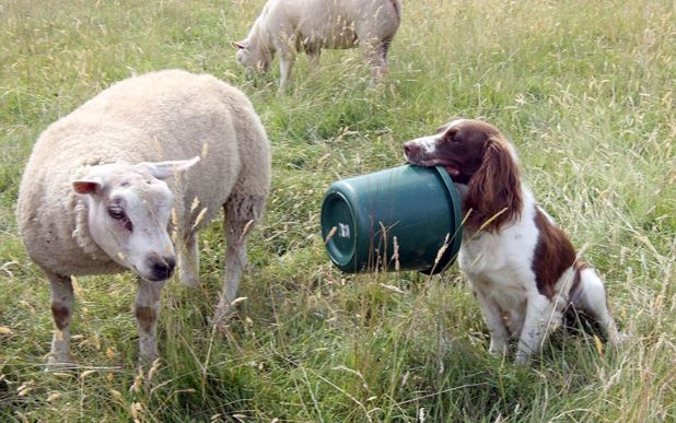 Springer Spaniel Jess feeds orphaned lamb