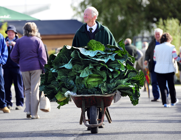 Peter Glazebrook pushes his prize-winning cabbage around the Harrogate Flower Show showground in a wheelbarrow - September 2012