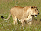 (Generic Image) A lioness walking through tall grass