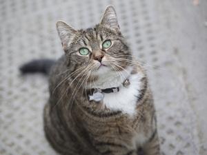 George Osborne cat Freya (also potential stock image of tabby cat)