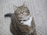 George Osborne cat Freya (also potential stock image of tabby cat)