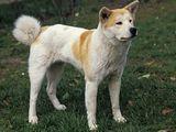 Dog, Akita breed