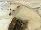 Shepherd dog adopts three tiger cubs