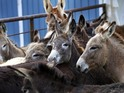 Donkeys in Botswana are being given glow-in-the-dark tags to avoid accidents.