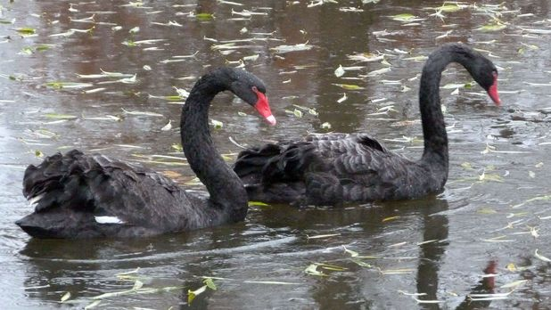 Royal Parks staff release a pair of reunited Australian black swans