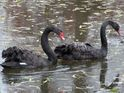 The black swan couple have been together for almost seven years.