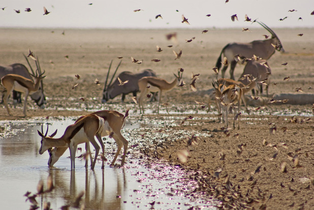 Springbok, oryx and Finch-larks