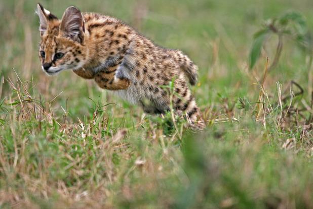 A serval kitten