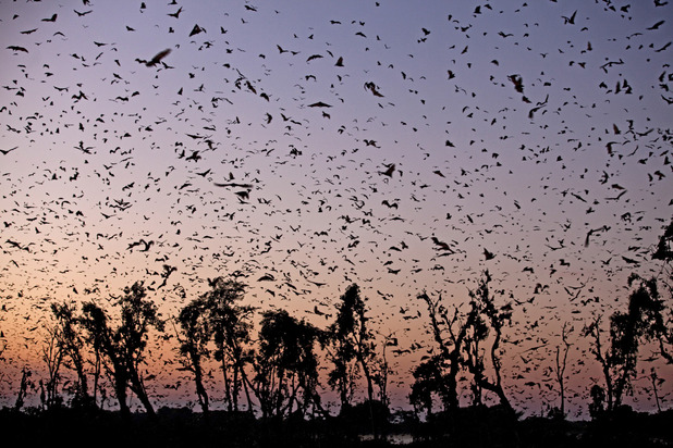 Eight million straw-coloured fruit bats