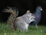 Grey squirrel (generic), St James' Park in London