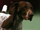 Carlee, a German Shorthaired Pointer, competes in the 129th Westminster Kennel Club Dog Show Tuesday Feb. 15, 2005 in New York. Carlee, handled by Michelle Ostermiller, won Best in Show.