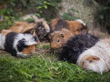 Guinea pigs