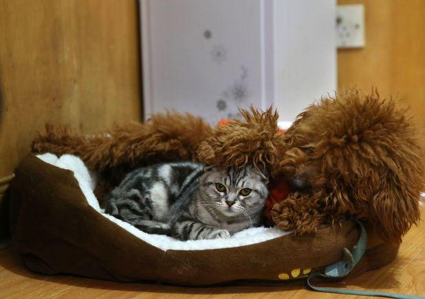 Poodle babysits kitten