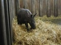 Baby rhino Bsy is an Indian rhino, the first of its kind to be born in Poland.