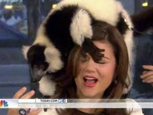 A lemur clambers over Tiffani Thiessen on Today