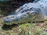 """Lolong,"" the world's largest saltwater crocodile"