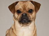 Puggle, designer dog, mix of pug and beagle