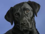 A black Labrador Retriever
