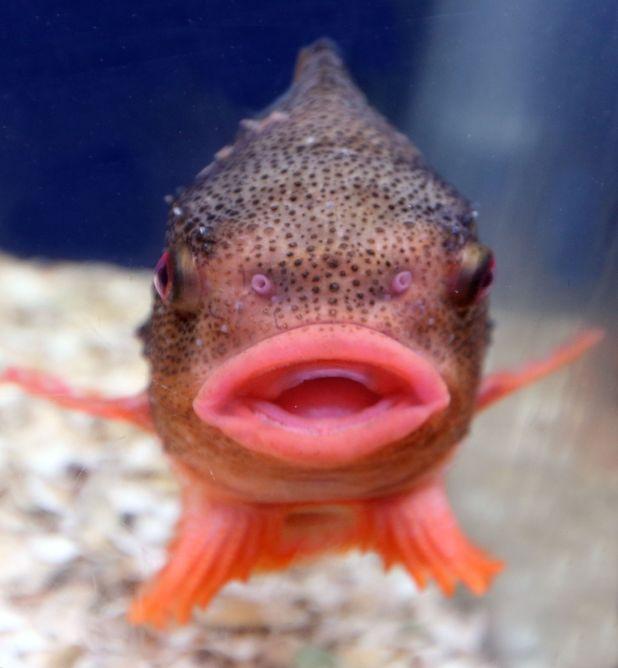 Lumpsucker fish, Lyme Regis Aquarium, Dorset