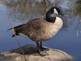 Goose (generic)