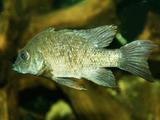 Mangarahara cichlid fish