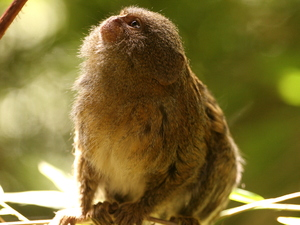 Pygmy Marmoset Monkey.