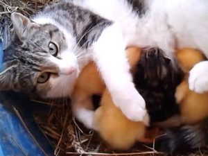 Cat feeds ducklings