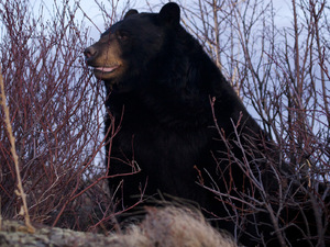 'North America' - A black bear