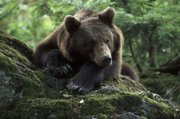 European brown bear (ursus arctros) at a national park in Germany