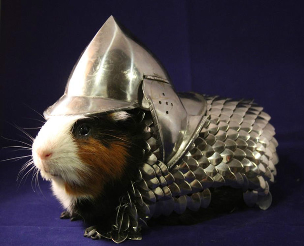 Guinea pig in armour