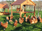 Chickens 'smarter than human toddlers'